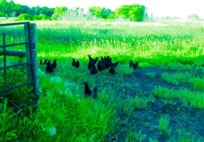 Hens Free Ranging