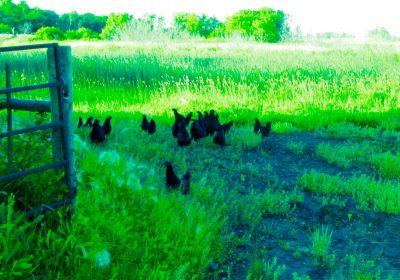 Hens Free Ranging